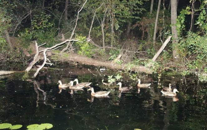 brown ducks in toronto islands